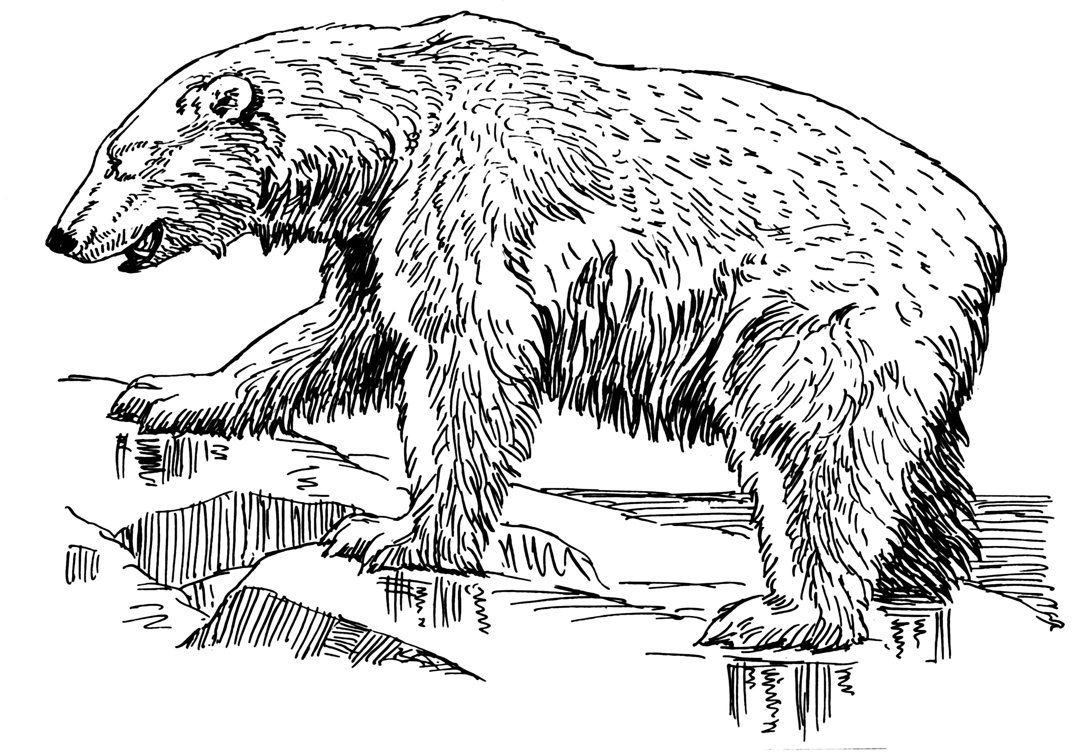 Drawn polar  bear thumbnail (PSF) (PSF) png Bear Bear
