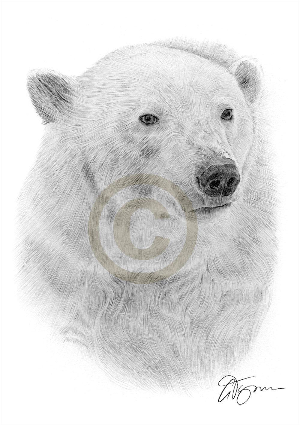 Drawn polar  bear thumbnail Of drawing thumbnail Bear
