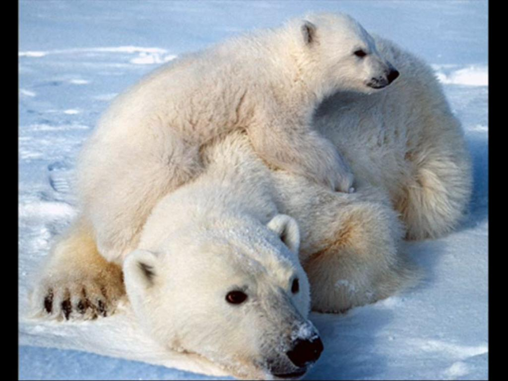 Drawn polar  bear tundra animal #12