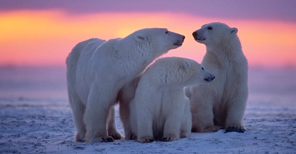 Drawn polar  bear tundra animal #10