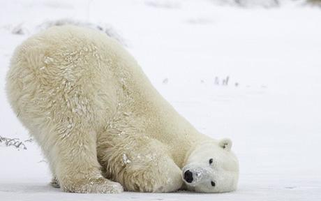 Drawn polar  bear tundra animal #15