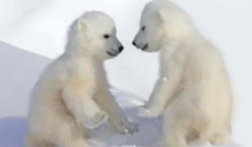 Drawn polar  bear tundra animal #9