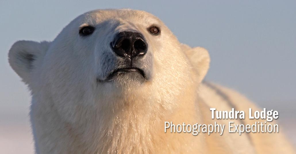 Drawn polar  bear tundra animal #11
