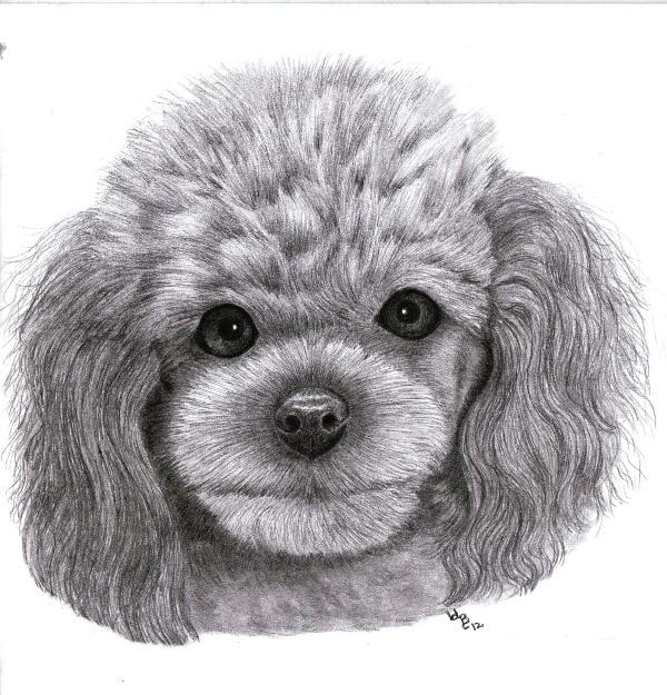 Drawn poodle A poodle a graphite week