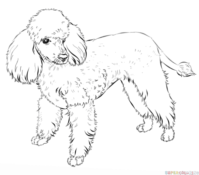 Drawn poodle Draw poodle french tutorials Step