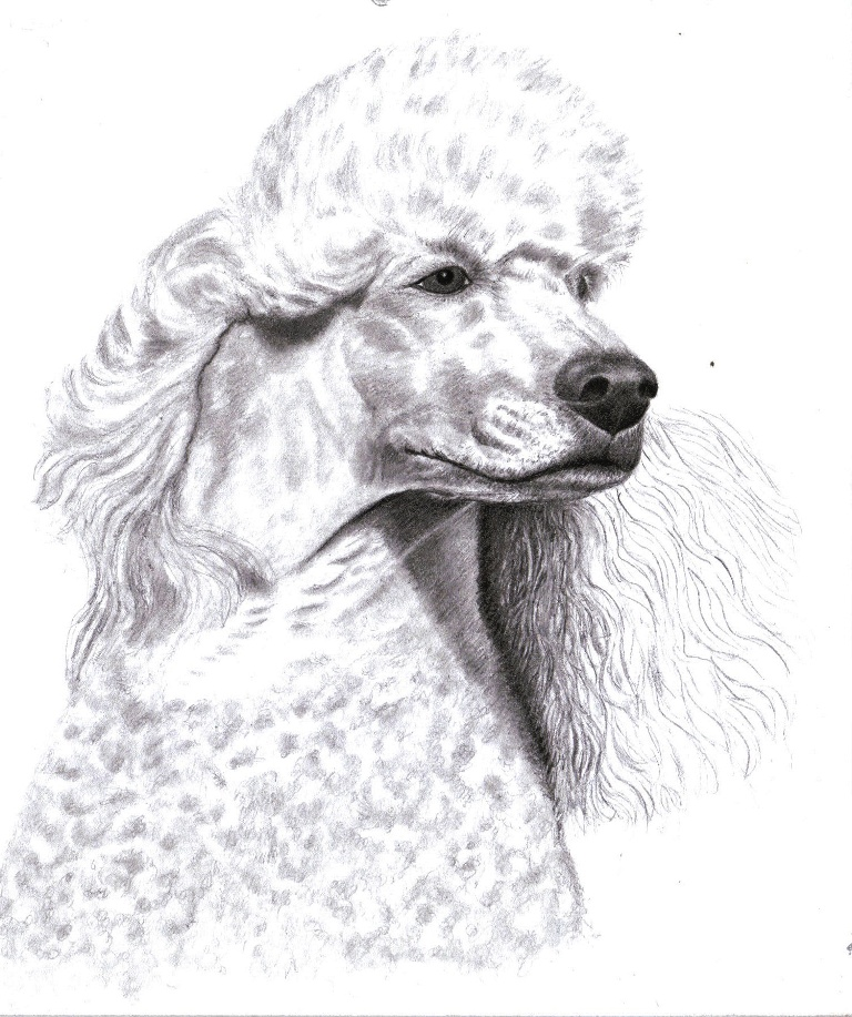 Drawn poodle Knot Search Google french How