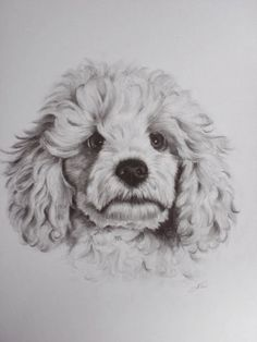 Drawn poodle abstract A com DRAWING WHITE GRAPHITE