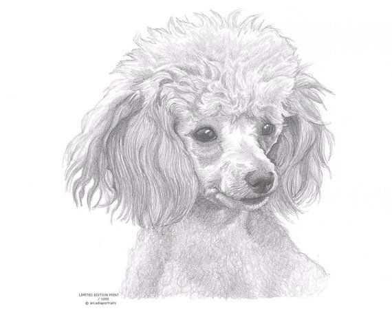 Drawn poodle abstract Edition dog by Poodle POODLE