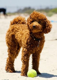 Drawn poodle bad Dog Pinterest my dogs loyal