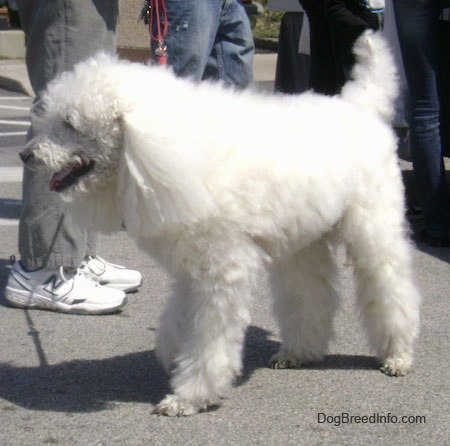 Drawn poodle bad Poodle long coated dog Dog