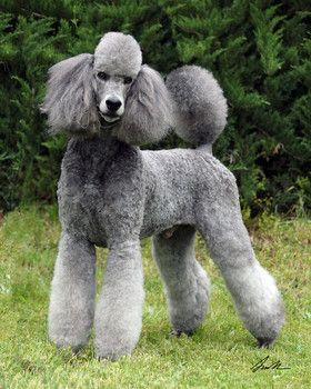 Drawn poodle barbie Standard Graphic images Grey 139