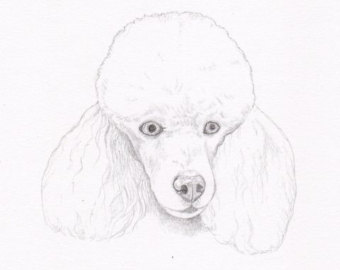 Drawn poodle black Personalized drawing Color Pencil Double