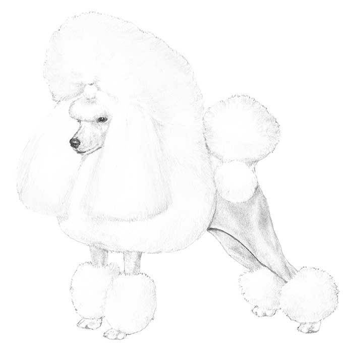 Drawn poodle continental Club Information Appearance Poodle General