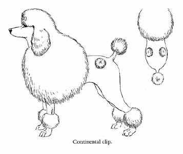 Drawn poodle continental Images 20 continental on clip