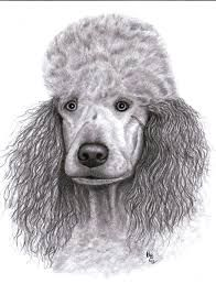 Drawn poodle face Poodle drawing by Art Artist