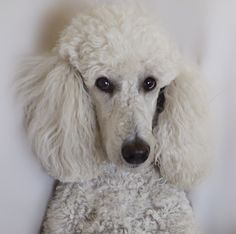 Drawn poodle face  stuck to Find be