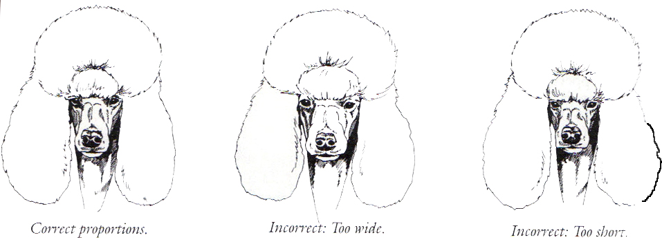 Drawn poodle face  Standard Poodle Structure Explained