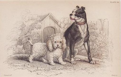 Drawn poodle natural 1839; #20 10 William 9