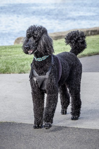 Drawn poodle natural Means name of Breeds about