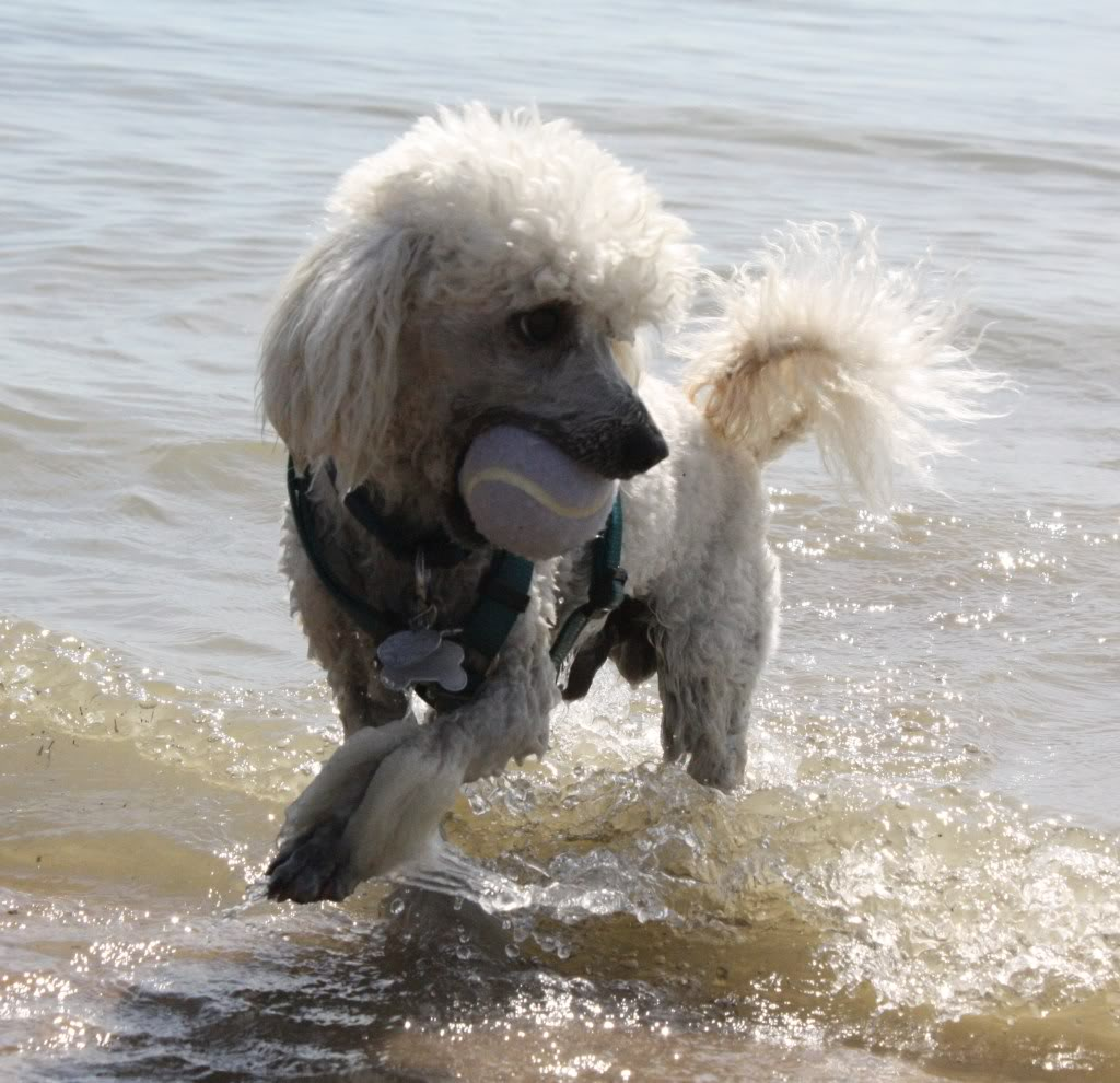 Drawn poodle water Franchise that Love Poodle Water!