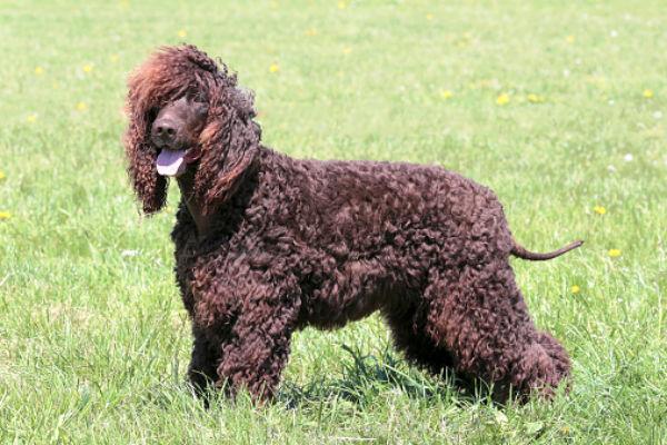 Drawn poodle water At water breeds] Club [irish