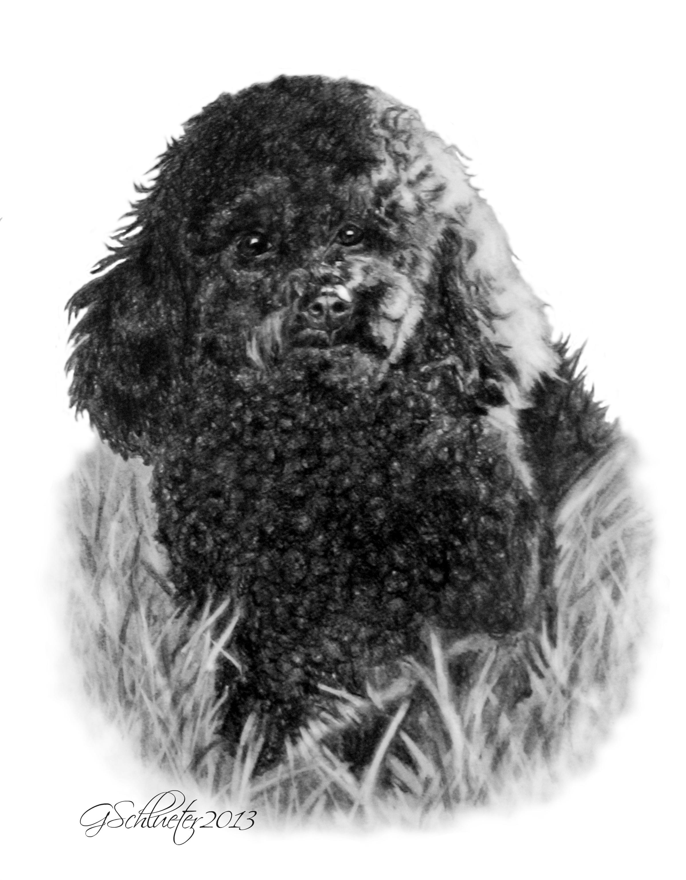 Drawn poodle water Genevieve #Poodle Drawn sketch