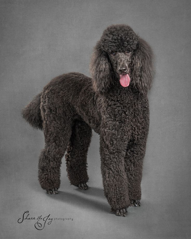 Drawn poodle water Animals Best 917 Pawgraphs POODLES