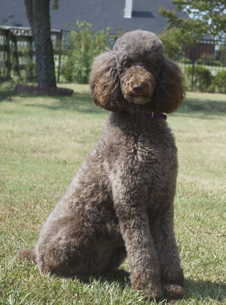 Drawn poodle water On standard chocolate Gracie poodle!
