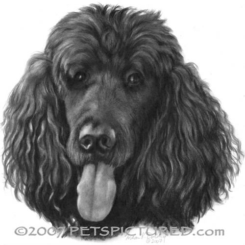 Drawn poodle watercolor  graphite Shadow drawing Holly