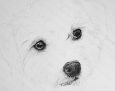 Drawn poodle watercolor  Progress drawing Poodle/terrier Portrait