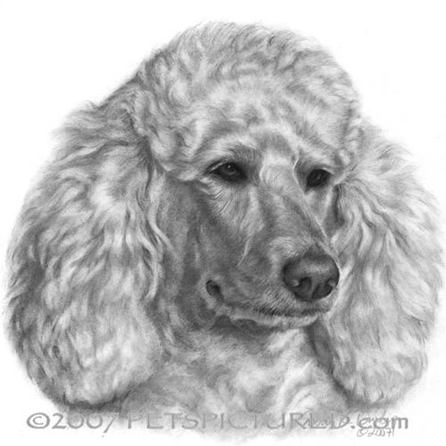 Drawn poodle face Holly White/Cream Portrait drawing Original