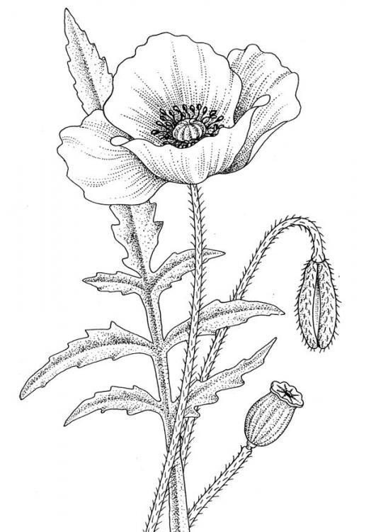 Drawn poppy amapola Poppy flowers ideas 20+ Pinterest