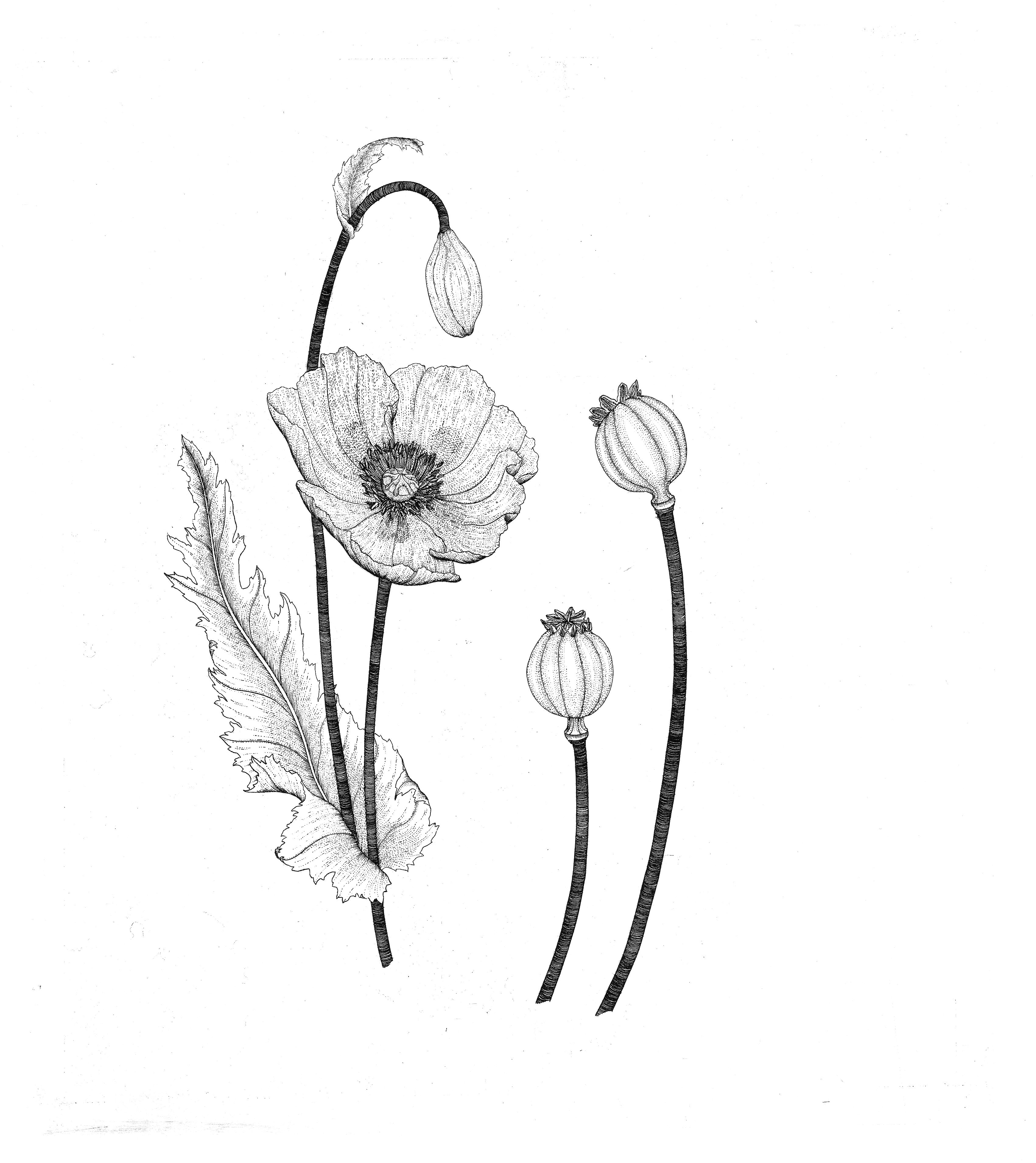 Drawn poppy amapola Poppy & & Opium Suggestions