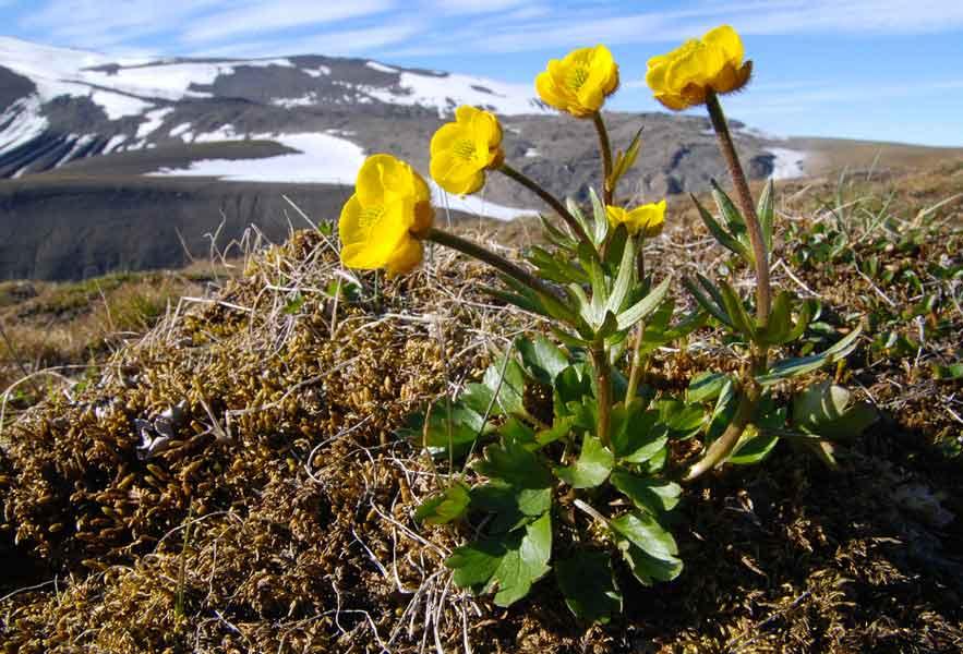 Drawn poppy arctic poppy Arctic Edges Photo Credit: Alaska