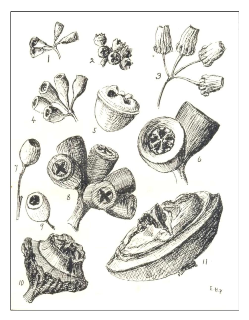 Drawn poppy australian Floral gum DrawingLeaf Google Search