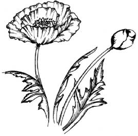 Drawn poppy beginner Drawing Flowers : How How