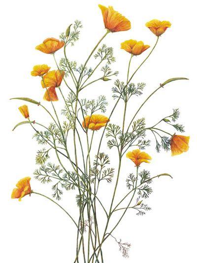 Drawn poppy big flower Poppy California Northern Forearm Best