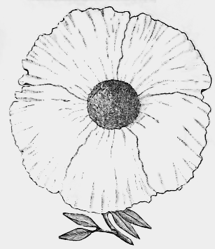 Drawn poppy black and white Vintage California Images Drawing Flower