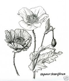 Drawn poppy black and white Pencil+Flower+Drawings+Of+Poppy+And+Ginger+Nutmeg+ awomaninscience