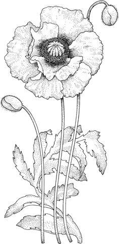 Drawn poppy black and white Blossom/ http://www Search Drawing Google