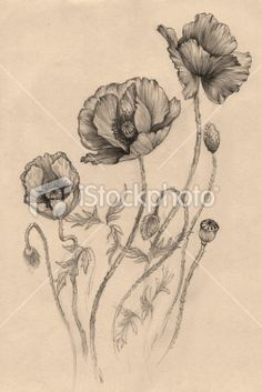 Drawn poppy black and white Poppy black Pinterest California Wonder