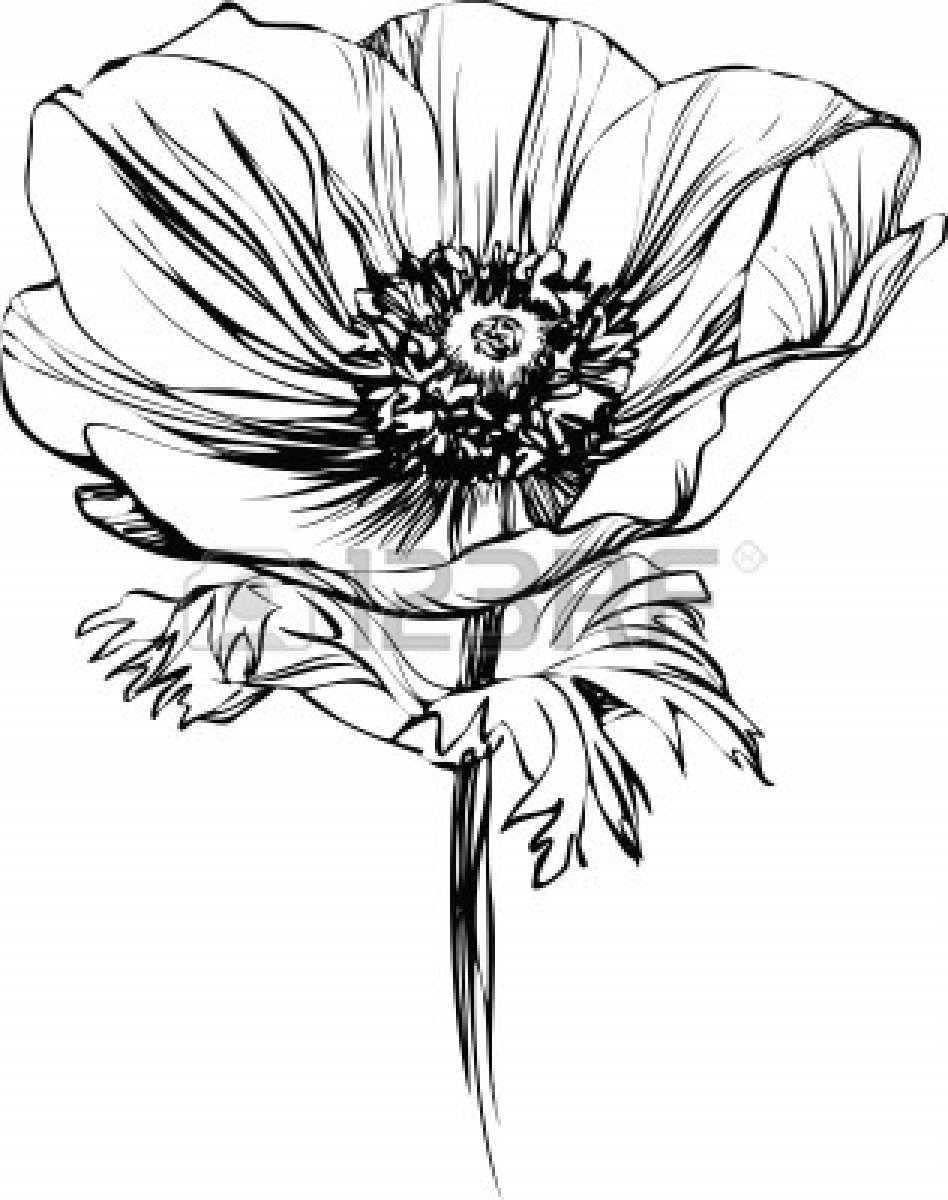 Drawn poppy black and white  picture Vector poppy black