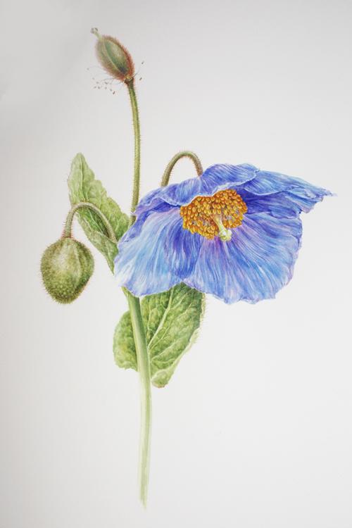 Drawn poppy blue poppy Sutherland: Wednesday 29 June 2011