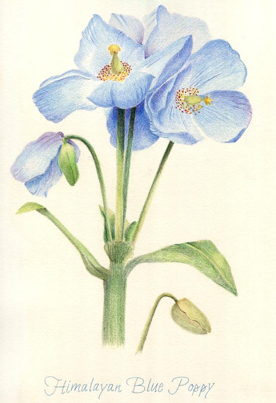 Drawn poppy blue poppy Blue Himalayan Blue McNichols Poppy