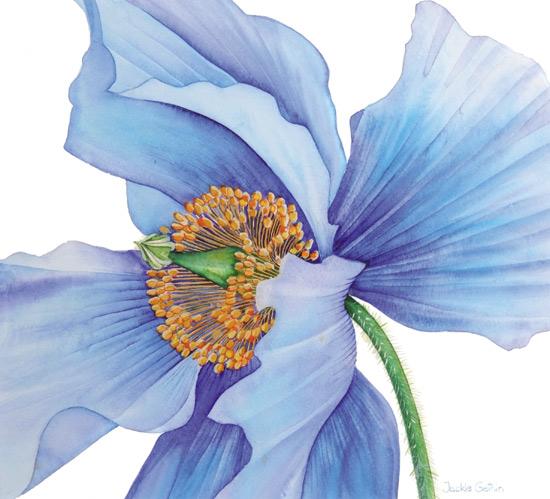 Drawn poppy blue poppy Gethin Himalayan projects poppy Blue
