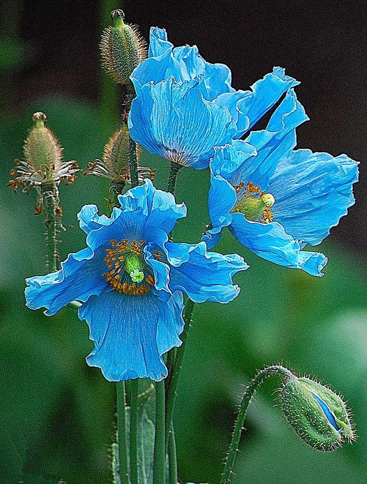 Drawn poppy blue poppy Poppy Himalayan Blue on Poppies