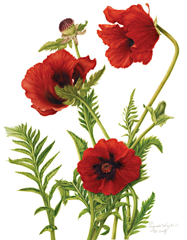 Drawn poppy botanical illustration Poppies Explore and tattoo Red