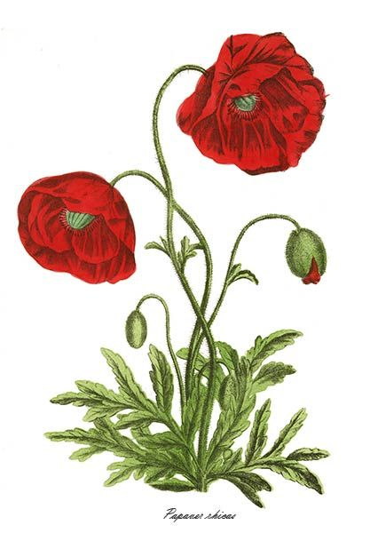 Drawn poppy botanical illustration Best Poppies images and 562