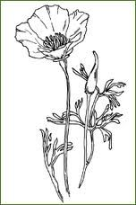 Drawn poppy california state Poppy ribs Good stem TattooPoppy