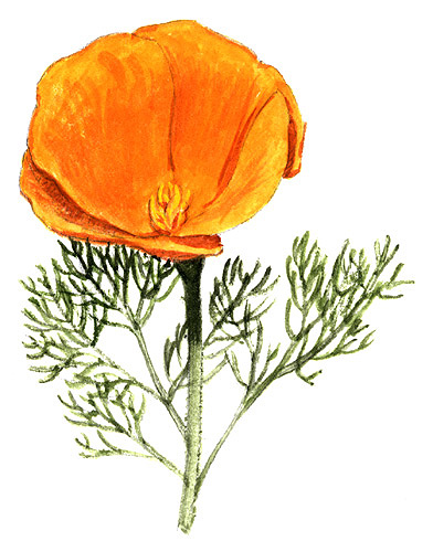 Drawn poppy california state Flower collection state California flower